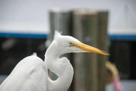 ardeidae: Portrait of a Great Egret, Florida, USA