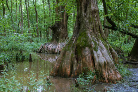 Big Cypress located in the Cache River natural area in Southern Illinois, USA