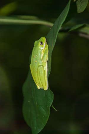 chordates: American green tree frog (Hyla cinerea) sitting on a green leaf Stock Photo