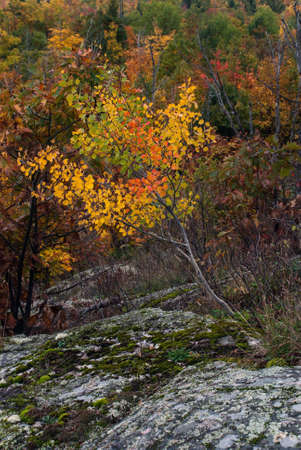 Little Birch in the autumn finery is growing on the stones, Thomas Rock, Marquette County, Michigan, USA