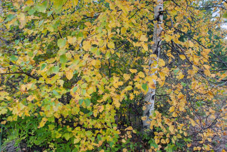 Autumn finery of white birch, Marquette County, Michigan, USA
