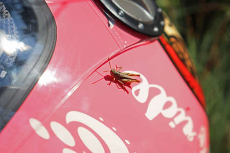 The grasshopper is sunbathing on a pink biker helmet.