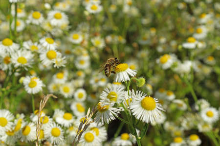 Bee on a chamomile and a flowering meadow.