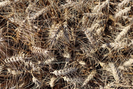 Texture composed of barley on the field. 版權商用圖片