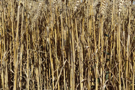 Texture of dry barley stalks on the field.