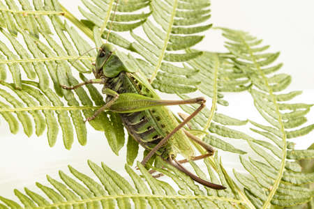 Macro photo of grasshopper on a fern leaf with white background.