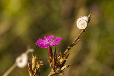 Macro photo of a pink flower with dew drops and a snail shell a little higher. Stock fotó