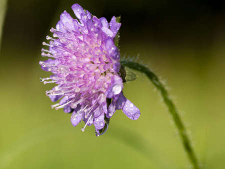 Macro photo of a purple flower with dew drops.