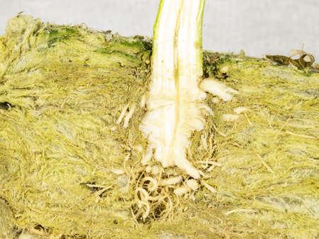 Cross section of root ball and stem of CBD hemp in rockwool, macro photo