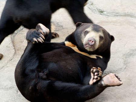 panthera tigris sumatrae: Bear