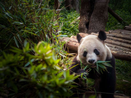 Panda playing in the bamboo forest in Sichuan province photo