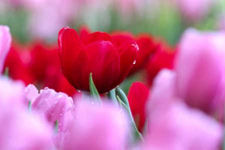 red tulip: red tulip Stock Photo