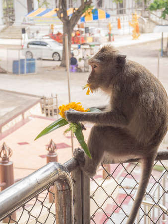 stole: The little hungry monkey stole flowers to eat , Thailand
