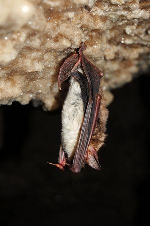 echolocation: the bat Stock Photo
