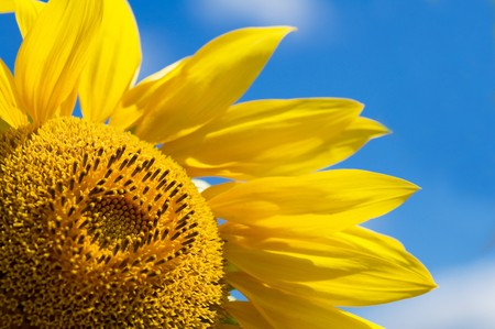 Beautiful yellow sunflower against a sky background Stock Photo - 8271495