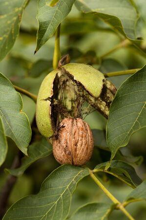 Ripe Circassian walnut ready to fall from tree photo