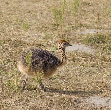 biped: Small cute baby ostrich (5 days old)