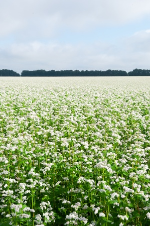 Green soba or buckwheat blooming field