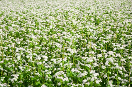 Green soba or buckwheat blooming field  photo