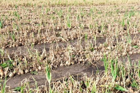 Rows of ripe fresh onion on the field