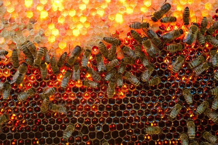 Many bees working on honeycombs full of honey Standard-Bild