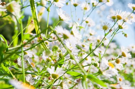White chamomiles on summer meadow with blurred background Standard-Bild