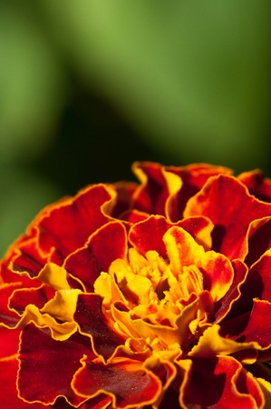 flower close up: Close up on a Orange marigold flower in the summer. Stock Photo