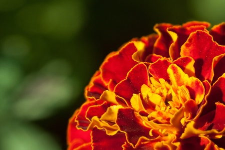 Close up on a Orange marigold flower in the summer. Stock Photo - 10484922