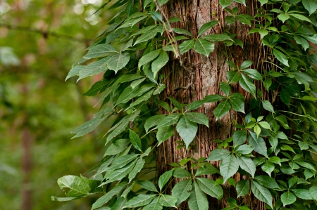 Tree fully covered with ivy leaves background photo