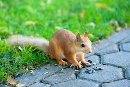 sciurus: Eurasian squirrel - Sciurus vulgaris
