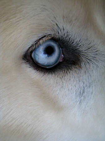 huskys: Close up of Siberian Huskys eye