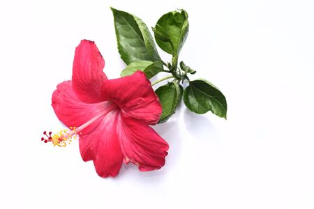 flori culture: Blossoming red flower with three petals on pestle, stamens and leaves, isolated on white