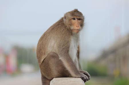 singly: The alone monkey sit on the handrail bridge Stock Photo