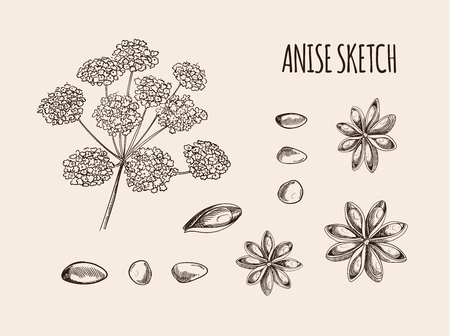 Vector Anise Sketch, Hand Drawn Illustration, Outline Drawings Isolated on Light Background.