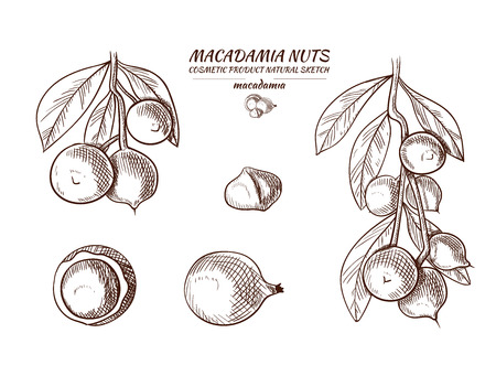 Vector Macadamia Hand Drawn Illustrations Set, Isolated on White Sketches.