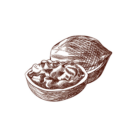 Vector Walnuts, Hand Drawn Illustration, Outline Drawing Isolated on White Background, Nut Icon.