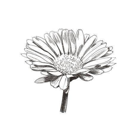 Vector dibujado a mano flor de estilo vintage, cabeza de flor de margarita, ilustración botánica de plantas, boceto de caléndula, líneas negras aisladas sobre fondo blanco.