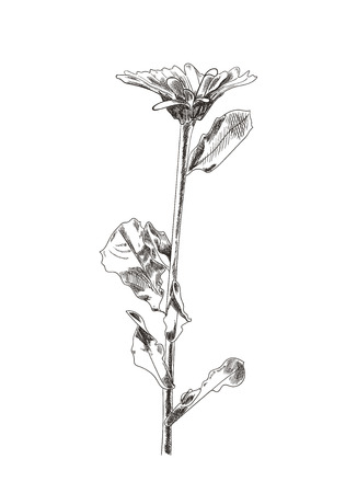 Vector Hand Drawn Flower Sketch, Graphic Art, Isolated on White Background Botanical Drawing. Çizim