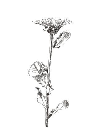 Vector mano dibujada flor dibujo, arte gráfico, aislado sobre fondo blanco Dibujo botánico.