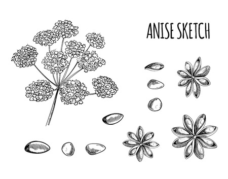 Vector Set of Anise Sketches: Aniseed and Flowers, Black Outline Drawing Isolated on White Background. Illustration