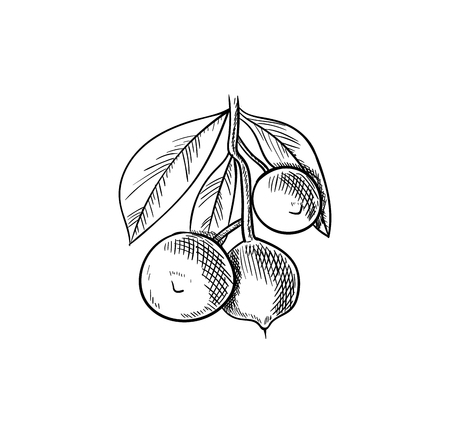 Vector Macadamia Nuts Branch, Sketchy Illustration, Hand Drawn Icon, Black Drawing Isolated on White Background. Vector Illustration