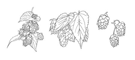 Vector Hop Plant Sketches Set, Black Outline Drawings Isolated on White Background, Beer Illustration Template, Black and White.