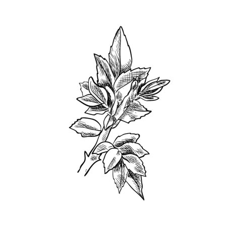 Vector hand drawn sprout, sketch, black and white illustration, detailed botanical drawing template isolated on white background. 일러스트
