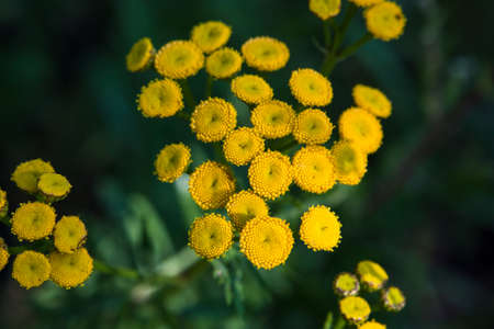 applicable: Tansy herb applicable in folk medicine, fights worms in the body, a natural insect repellent.