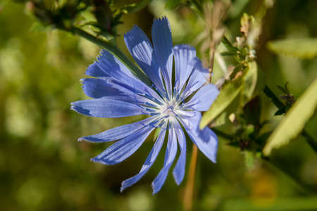 inconspicuous: Chicory full of charm inconspicuous plant with medicinal properties. Herb with beautiful blue flowers.