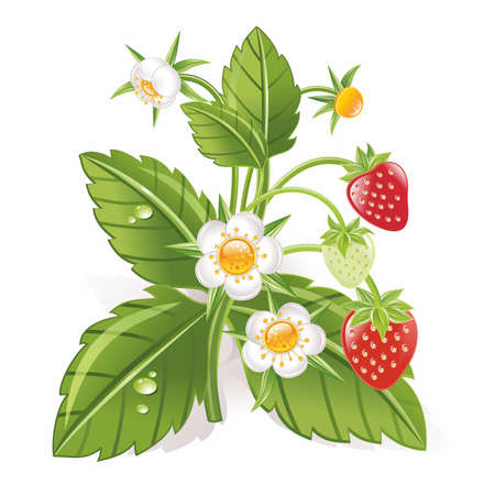 strawberries 向量圖像