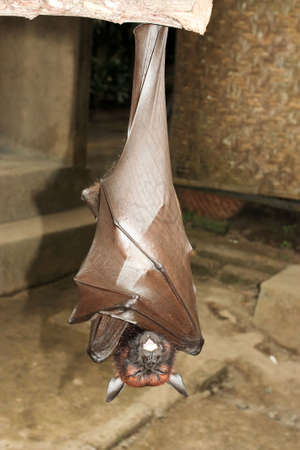 pteropus: fruit bat hanging on a branch foto Stock Photo