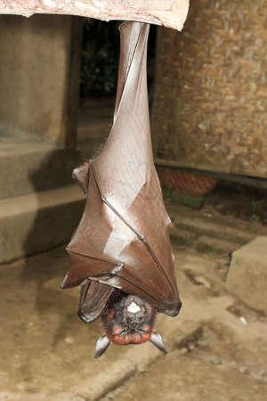 upside: fruit bat hanging on a branch foto Stock Photo