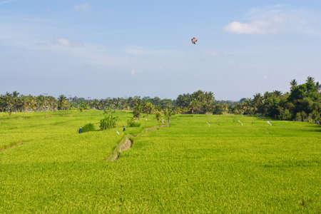 paddy fields: Women wearing umbrella hats working in  paddy fields. An Indian farming scene.
