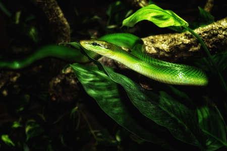 limbless: Green snake retro
